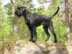 El Schnauzer gigante —o en alemán Riesenschnauzer— es una raza de perro de trabajo que se desarrolló en el siglo XVII en Alemania.
