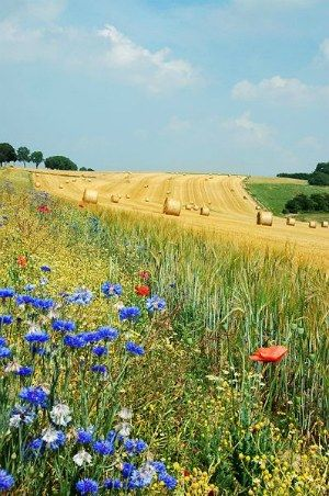 Don't you think the combination of these blue flowers, red poppies and harvested field look great ? I like the little slope as well...