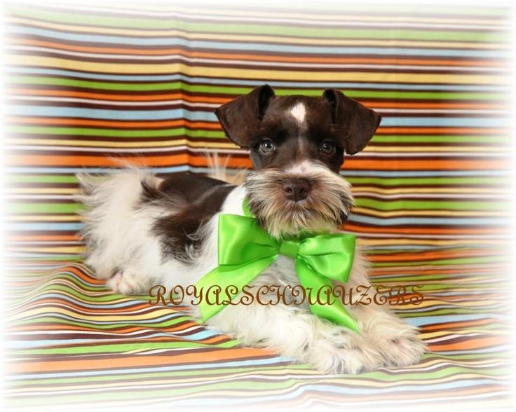 Male Miniature Schnauzer Puppies for Sale in Utah | Royal Schnauzer Miniature Schnauzer Utah