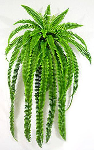 $7 Boston Fern from Walmart-water daily and fertilize weekly with Epsom salts to grow a huge fern.