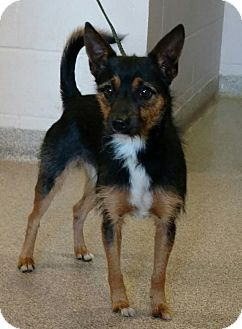 URGENT! I am at a very full, high kill shelter in Troy, OH - Australian Terrier Mix. Meet Vinnie, a dog for adoption. http://www.adoptapet.com/pet/17053825-troy-ohio-australian-terrier-mix