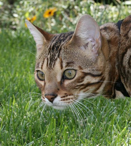 Purbred Bengal stud, he looks like a leopard walking out of the Jungle, but with the personality of a gentley house cat.... www.ebreeder.com