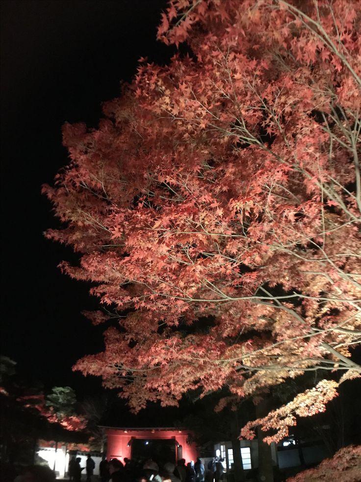 #平等院 #宇治 #京都 #夜楓 #紅葉 #byodointemple #uji #kyoto #mapleleaf