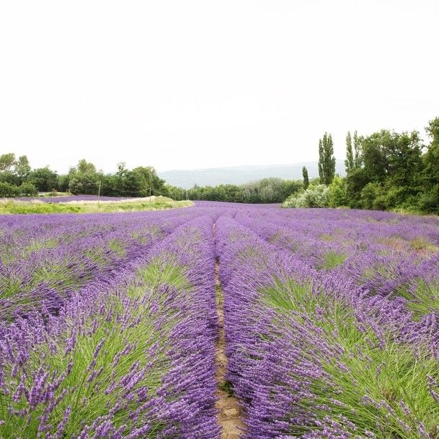 The Best Time To Visit Provence S Lavender Fields Is In June And July That Means It S Time To Plan That Summer Summer Getaway Summer Getaways Lavender Fields