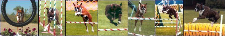 American Boxer Club: ABC Requirements for Health Screening for AKC Breeder of Merit Program