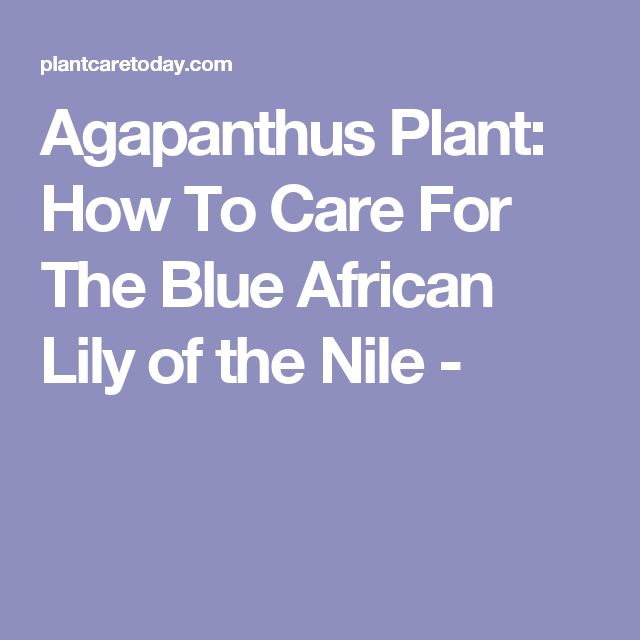 Agapanthus Plant: How To Care For The Blue African Lily of the Nile -