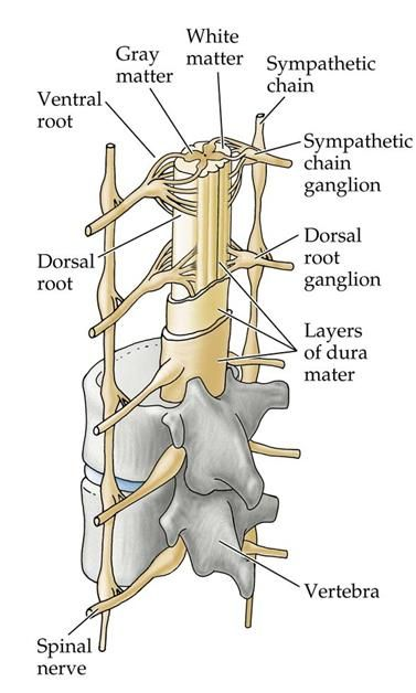 Spinal cord gross anatomy