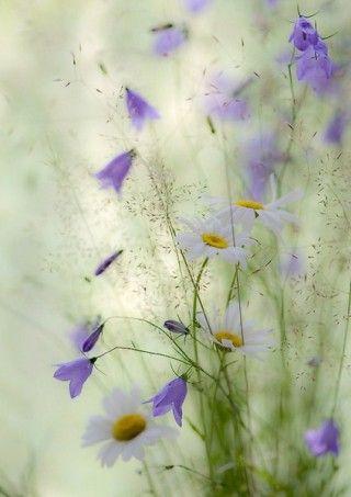 ❀ Bluebell (Campanula rotundifolia) ..typical Finnish wild flower
