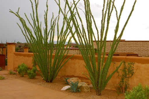 Dr Seuss-like plants bring an element of drama to this landscaped courtyard. Designed by Realm of Tucson, AZ.