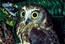 Morepork, close up of head and shoulders. Photo: Dick Veitch.