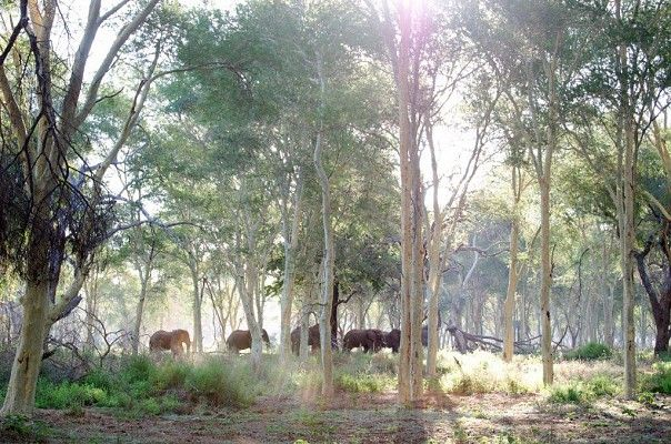 Elephant in the fever tree forest