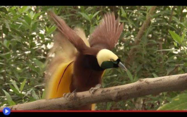 """Piume infuocate e l'insistente richiamo del Paradiso """"Sono qui! Sono qui! Stai parlando di me? Cucù! Cucù!"""" Intere generazioni di telespettatori, appartenenti alle nazionalità più diverse, sono rimaste nel tempo profondamente affascinate dal particolar #animali #uccelli #papuanuovaguinea"""
