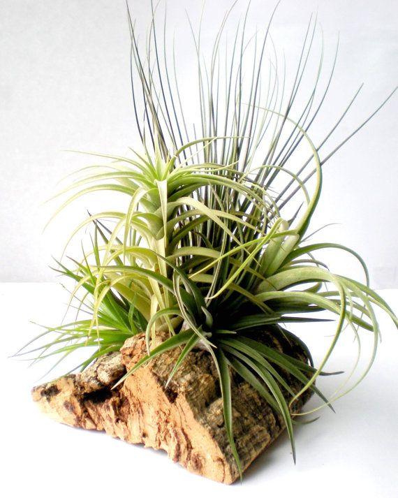 Tabletop Garden Air Plants on Sustainable Virgin by Plantzilla, $55.00