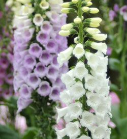 Digitalis (Foxglove). Most foxgloves are biennials, which means they spend their first year growing foliage, their second year flowering and then they die. This may sound troublesome, but the plants usually reseed and sort things out so you wind up having flowers every year.