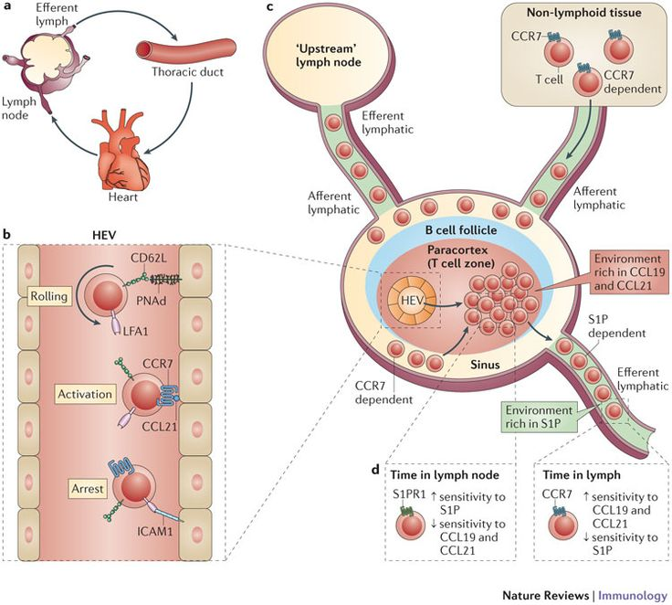 T cell recirculation through lymph nodes. #cells Nature Publishing Group