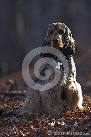 Download Sable English Cocker Spaniel In Forest Stock Images for free or as low as 0.68 lei. New users save 60% off. 19,299,434 high-resolution stock photos and vector illustrations. Image: 34637264