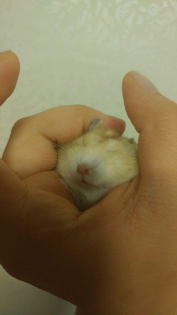 Hamster-pingping