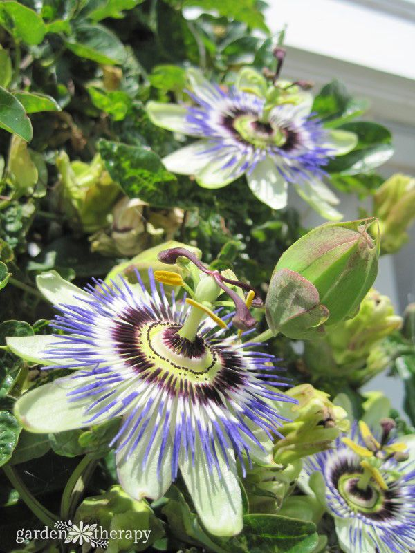 The Best Natural Sleep Aid How To Use Herbs For Sleep Garden Therapy Passion Flower Blue Passion Flower Flower Garden
