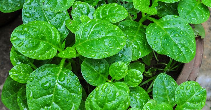 How to Grow and Care for Spinach in Containers
