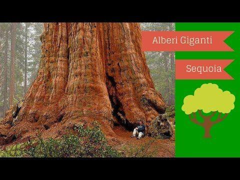 Alberi Giganti,sequoie,alberi secolari (curiosita) - YouTube