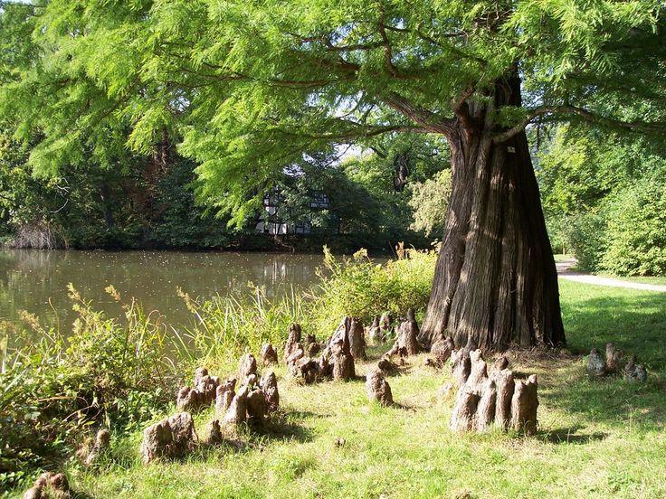 Greiz, Park, Taxodium distichum (Sumpfzypresse), specific air-roots (Luftwurzeln)