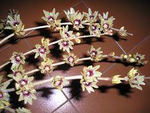 Calicanto o Chimonanthus