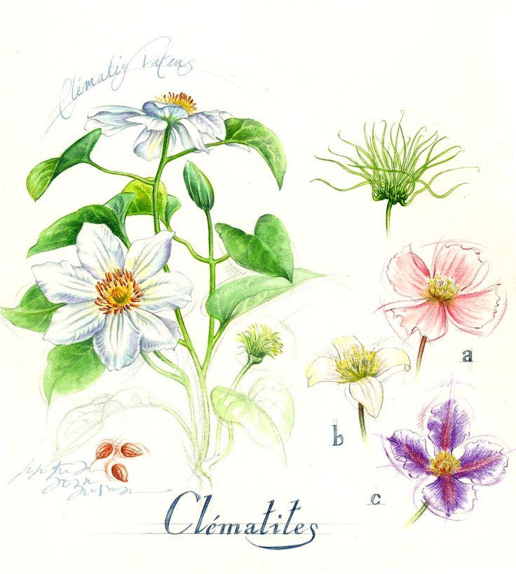 Illustration botanique clématite-Florence Gendre