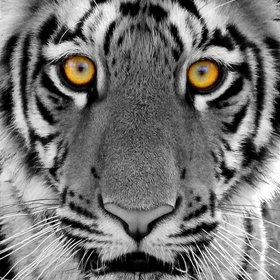 Eye Of The Tiger One My Favorite Animals