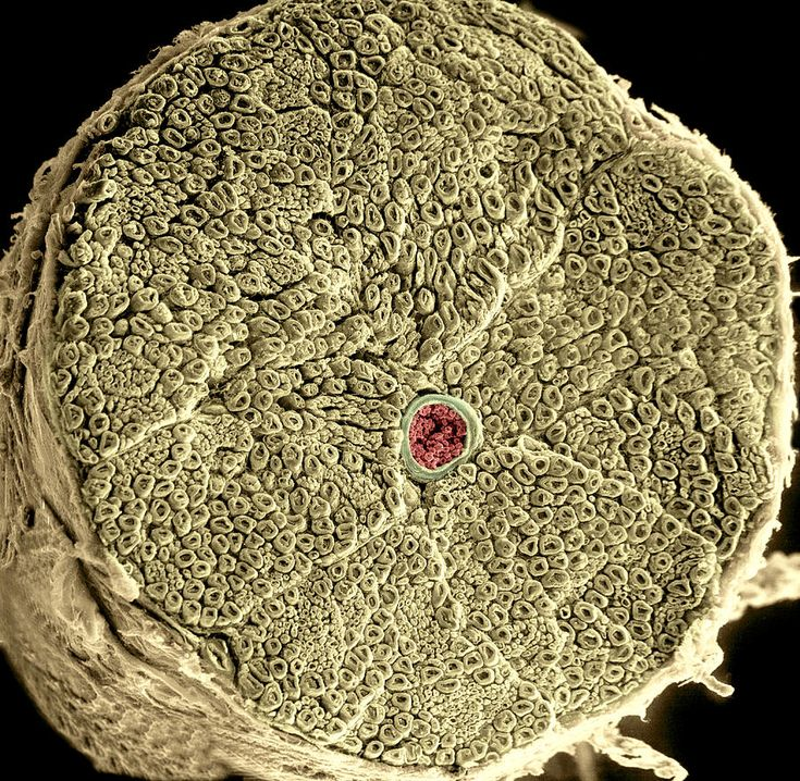 Human spinal nerve and center blood vessel, coloured scanning electron micrograph (SEM)