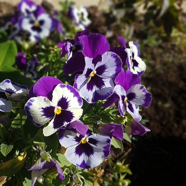 My pansies are not going down without a fight!  #pansies #fightingfrost #alberta #fallflowers #fallflowersinbloom