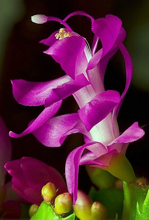 ~~ schlumbergera pro Flowers Garden Love