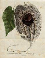 Aristoloche à grandes fleurs - Aristolochia gigas