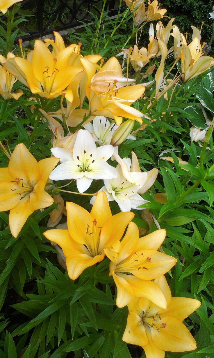 best lillies images on pinterest flowers garden flower