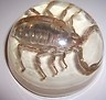 Most popular Scorpions In Arizona auctions | Big Bob's Big Bug Blog-US   End Date: Monday Oct-29-2012 14:34:27 PDT