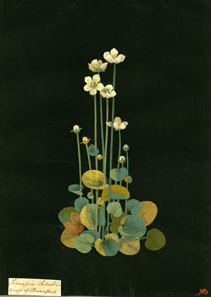 Parnassia Palustris (Pentandria Tetragynia), formerly in an album (Vol.VII, 50); Grass of Parnassus. 1776 Collage of coloured papers, with bodycolour and watercolour, and a leaf sample, on black ink background, Mary Delany (1700-1788)