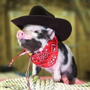 @Jessica Lunn Please dress your piggy up like this!: Piggie, Piglets, Minis Pigs, Cowboys Pigs, Cowboys Piggy, Things, Teacups Pigs, Pet Pigs, Animal