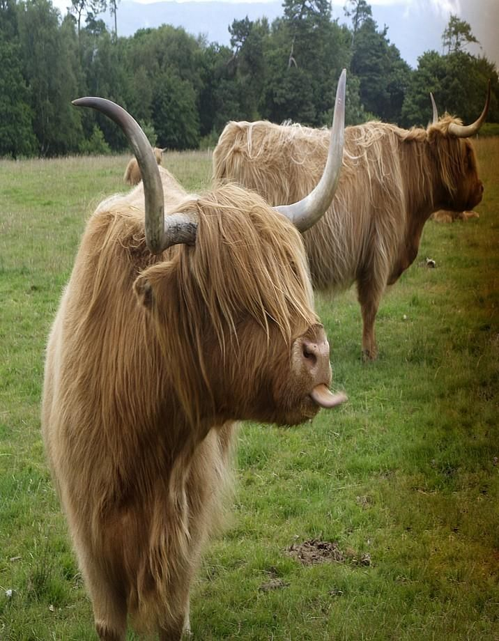 Thinks everyone is picking on him and keeps the heard stirred up... Highland Cattle  *~<3*Jo*<3~*