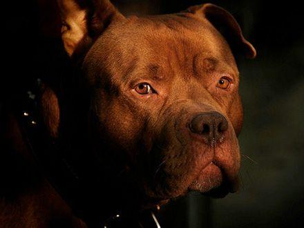 Conheça a raça Cão Bandog Redcapo