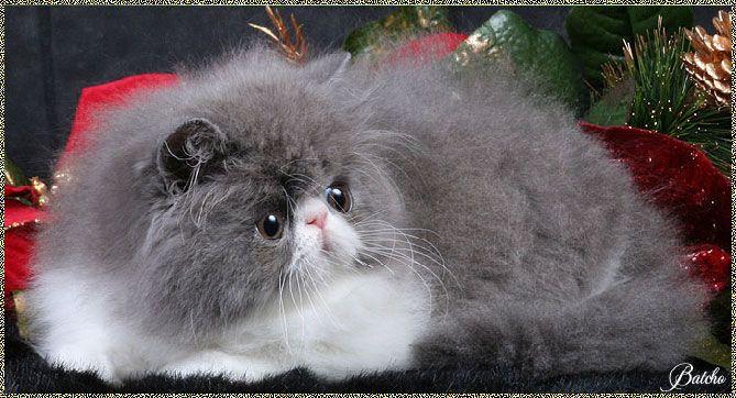 Persian Kittens For Sale - www.batcho.net - Bi-Color Persian Cat Breeder In PA