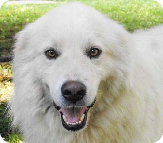 7/15/14 Sussex, NJ - Great Pyrenees Mix. Meet RUDY, a dog for adoption. http://www.adoptapet.com/pet/11168629-sussex-new-jersey-great-pyrenees-mix