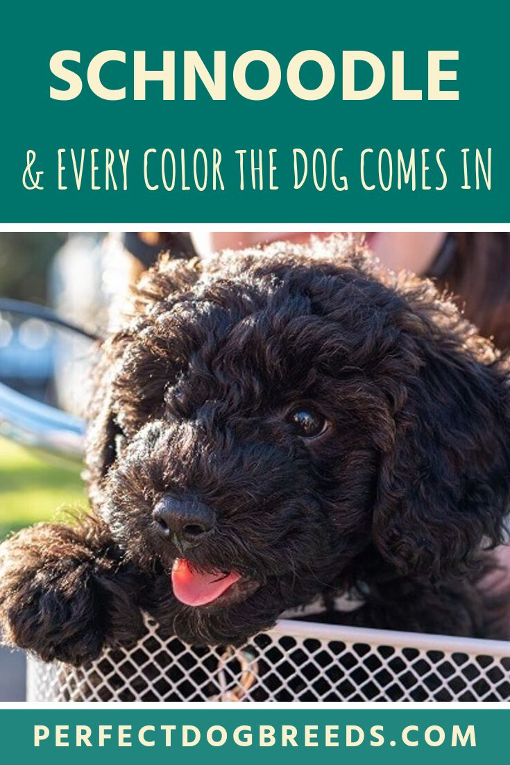 Teddy bear schnoodle puppies for sale near me