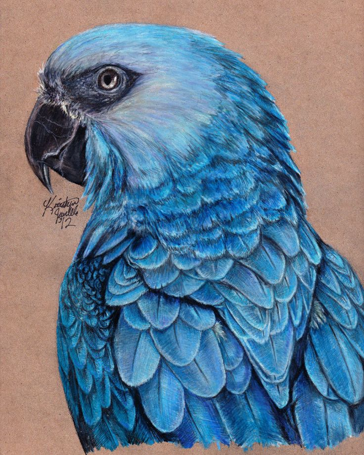 Spix's Macaw.: Blue, Birds Paintings, Tattoo Candidate, Macaw Parrot Bird Tattoos, Bird Art, Pencil Drawing, Spix S Macaw, Colored Pencils
