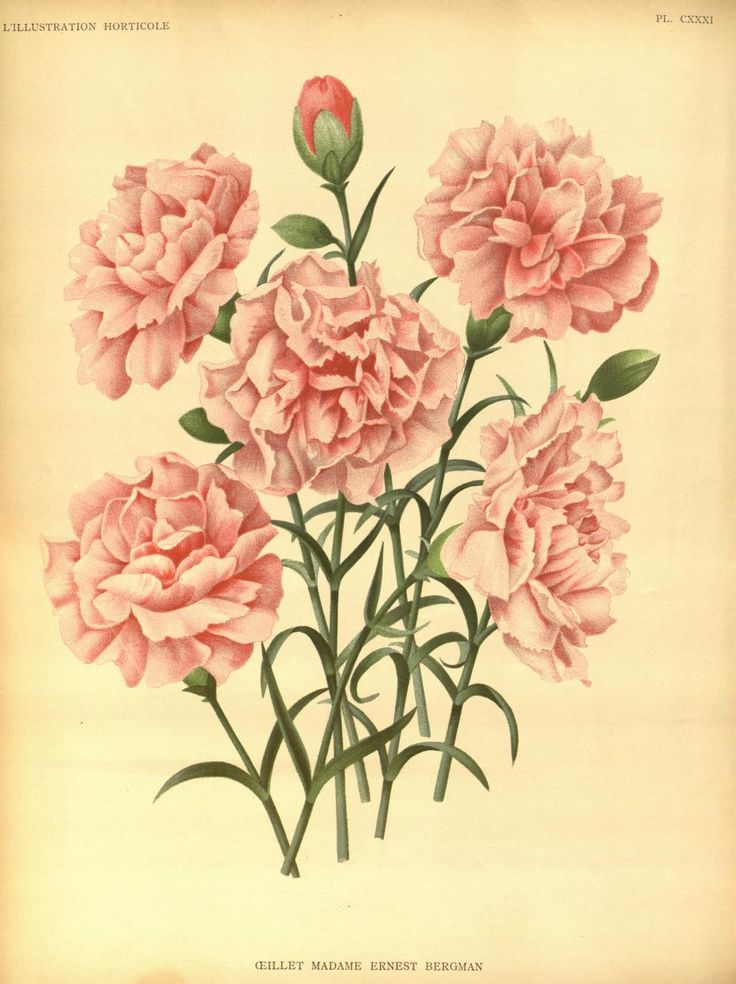 v.38 (1891) - L'Illustration horticole : - Biodiversity Heritage Library