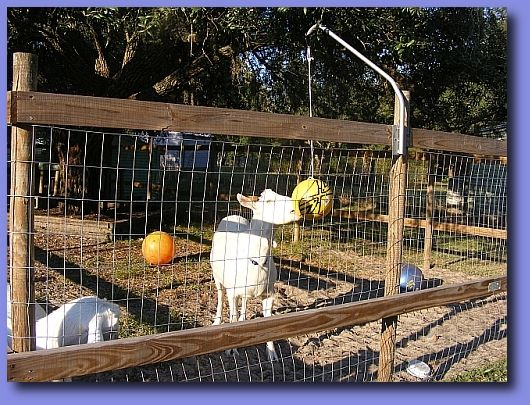 Tether Ball and other toys are great for keeping goats entertained. #goatvet says better for your goats to butt a ball then each other