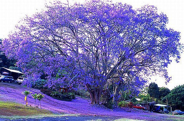 Jacaranda (Jacaranda mimosifolia) The jacaranda tree turns completely purple (no green foliage during blooming) in the spring. Description from pinterest.com. I searched for this on bing.com/images