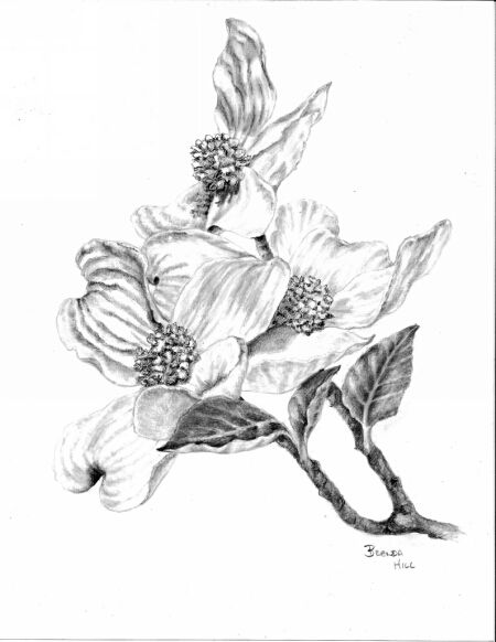 Dogwood Blossoms graphite floral by Brenda Hill