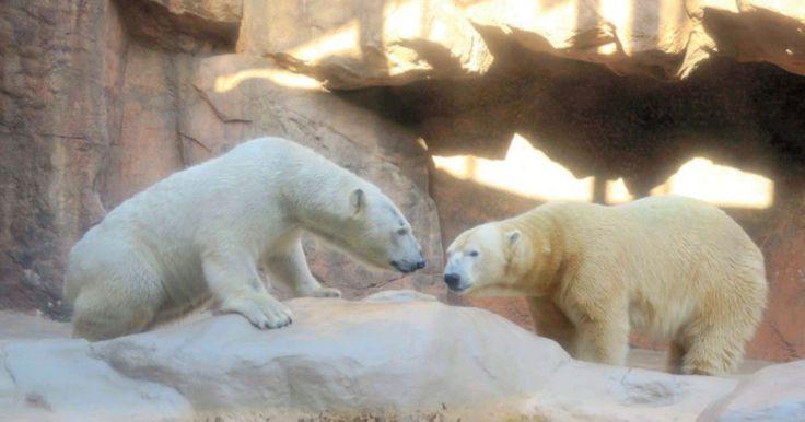Онлайн камеры установлены в секции, где резвятся белые медведи.