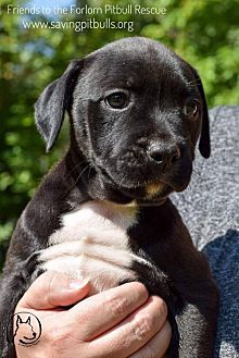 Pictures of Porsche a Pit Bull Terrier for adoption in Dallas, GA who needs a loving home.