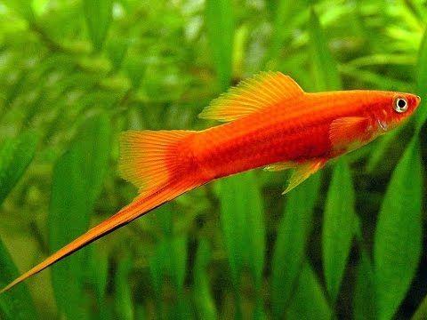 Аквариумная рыбка, Меченосец, Xiphophorus helleri