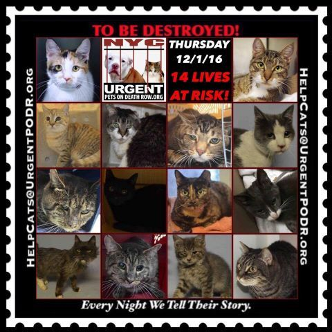 """TO BE DESTROYED 12/01/16 - - Info  Please Share:Please share View tonight's list here: http://nyccats.urgentpodr.org/tbd-cats-page/  The shelter closes at 8pm. Go to the ACC website( http:/www.nycacc.org/PublicAtRisk.htm) ASAP to adopt a PUBLIC LIST cat (noted with a """"P"""" on their profile) and/or … CLICK HERE FOR ADD...-  Click for info & Current Status: http://nyccats.urgentpodr.org/to-be-destroyed-091716/"""